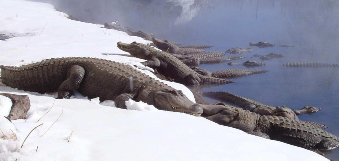 Photo Credit: http://www.coloradogators.com/wp-content/uploads/2014/02/Colorado-Gators-Gators-in-the-Snow-e1392314291449-1160x550.jpg