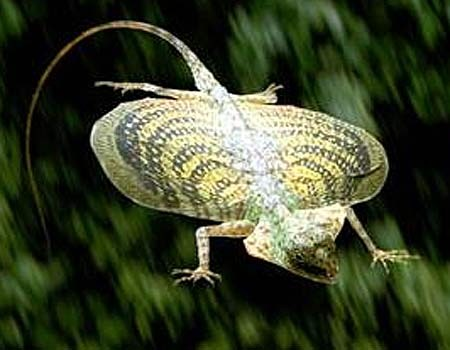 Photo Credit: http://www.factzoo.com/sites/all/img/reptiles/lizards/flying-dragon-spotted.jpg