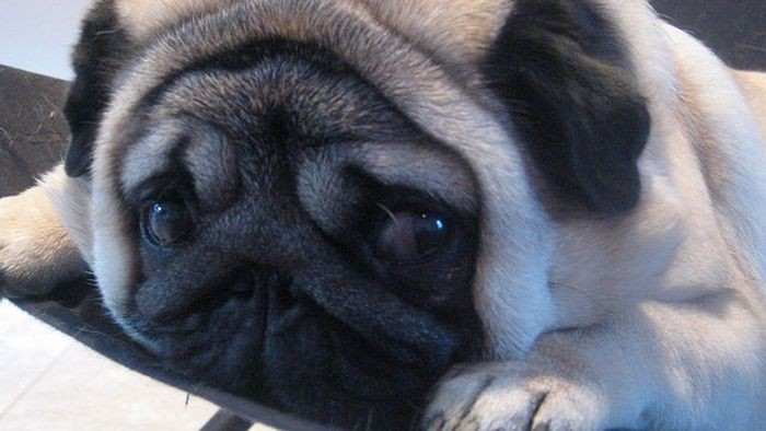 Pug Inconvenienced by Its Cuteness