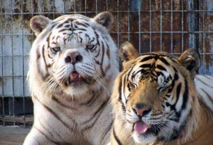 Tiger with Down Syndrome